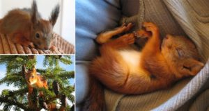 Family Adopt Red Squirrel