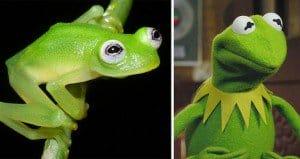 Diane's Bare-hearted Glassfrog kermit the frog