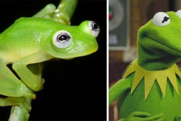 Diane's Bare-hearted Glassfrog kermit the frog
