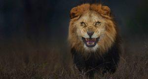 Photographer Captures Lion