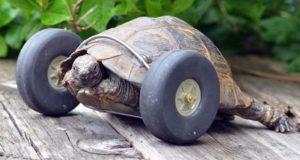 Tortoise Prosthetic Wheels