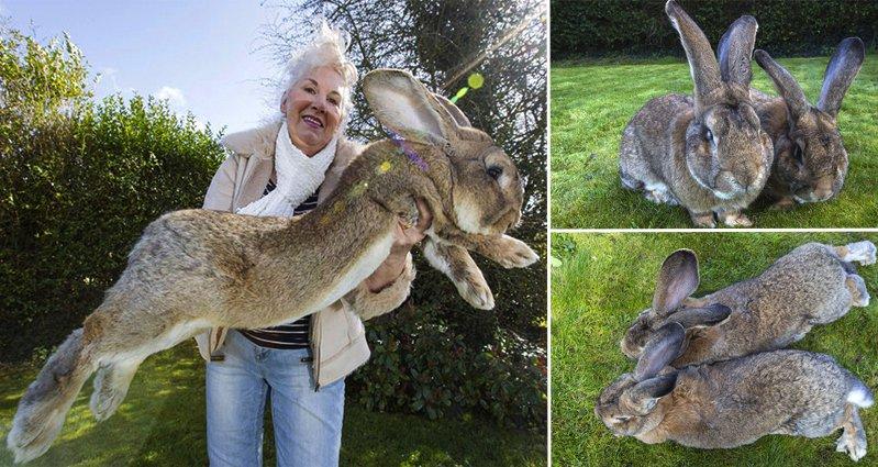 Meet Darius The World S Biggest Bunny
