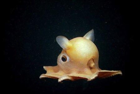 Cute dumbo octopus - photo#42