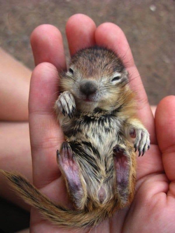 baby-chipmunk