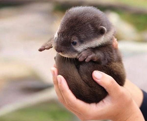 baby-otter