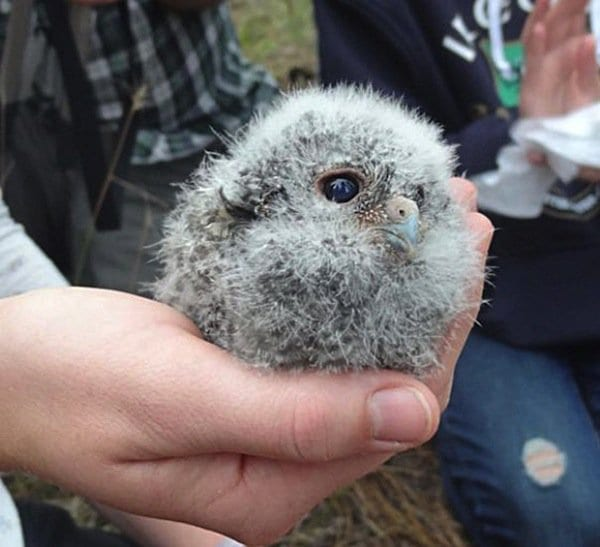 baby-owl