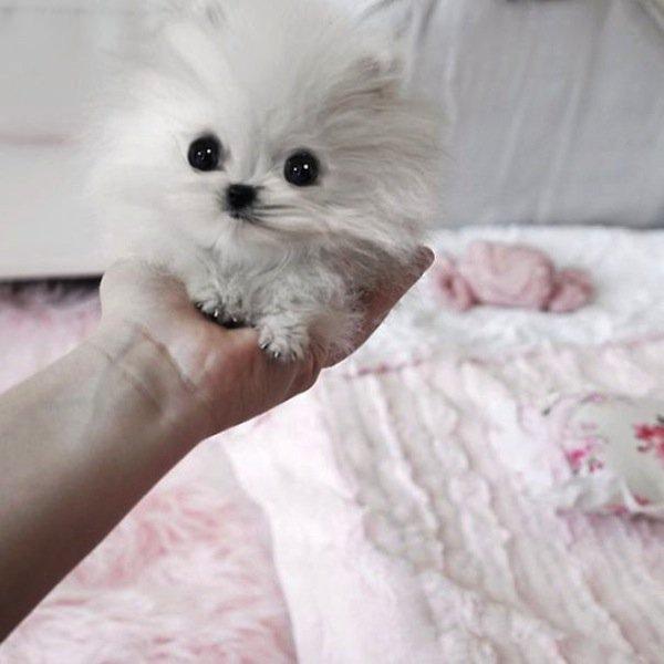 baby-pomeranian