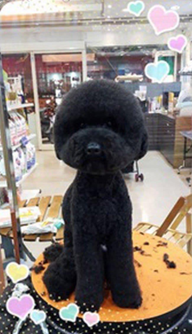 black dog round haircut