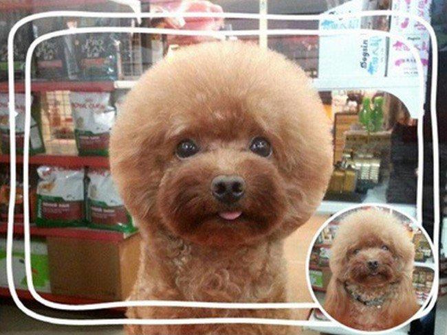 brown dog round haircut