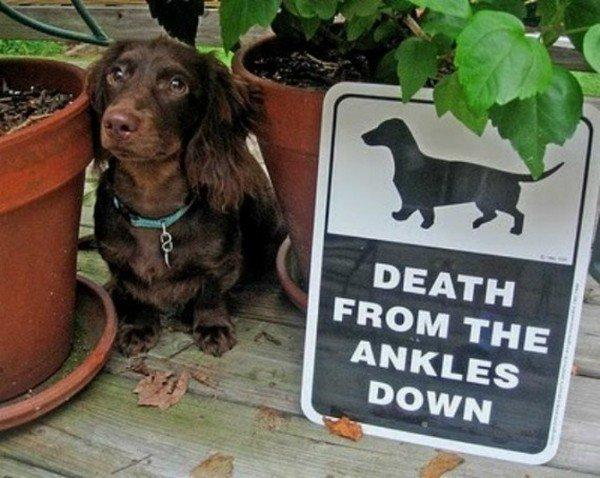 death ankles down dachshund