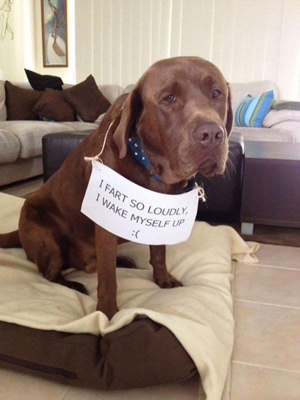 dog-shaming-fart