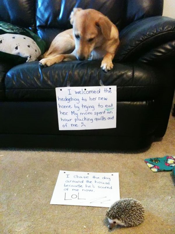 dog-shaming-hedgehog