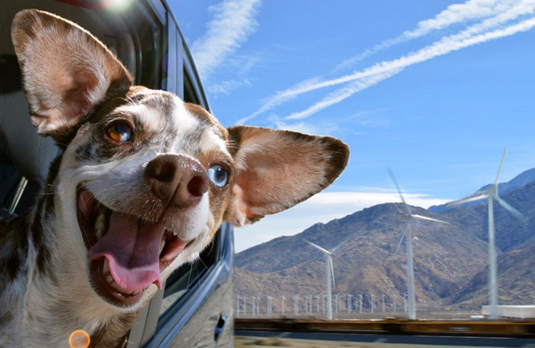 dogs-in-cars-eyes