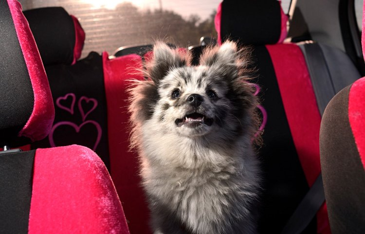 dogs-in-cars-fluff