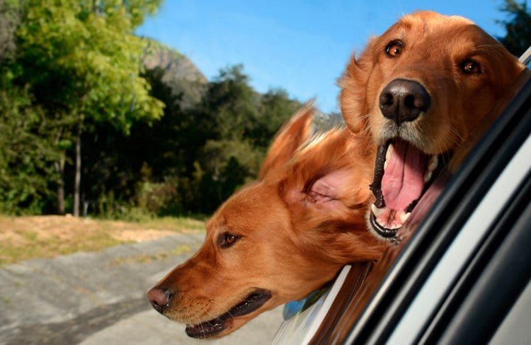 dogs-in-cars-golden