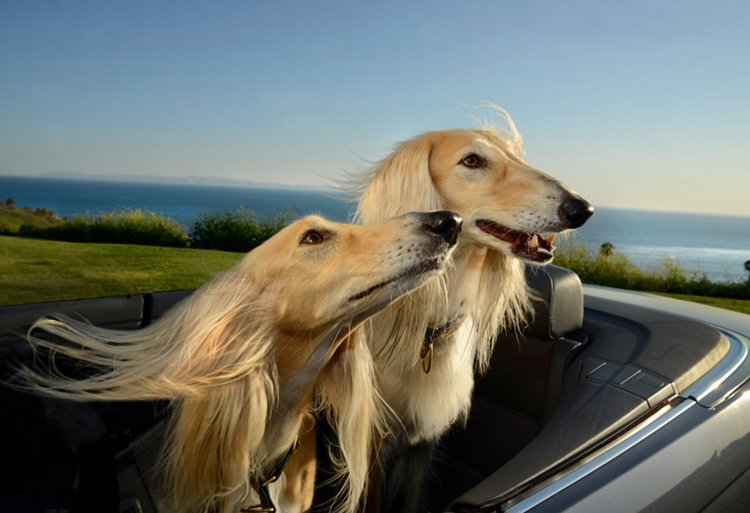 dogs-in-cars-hounds