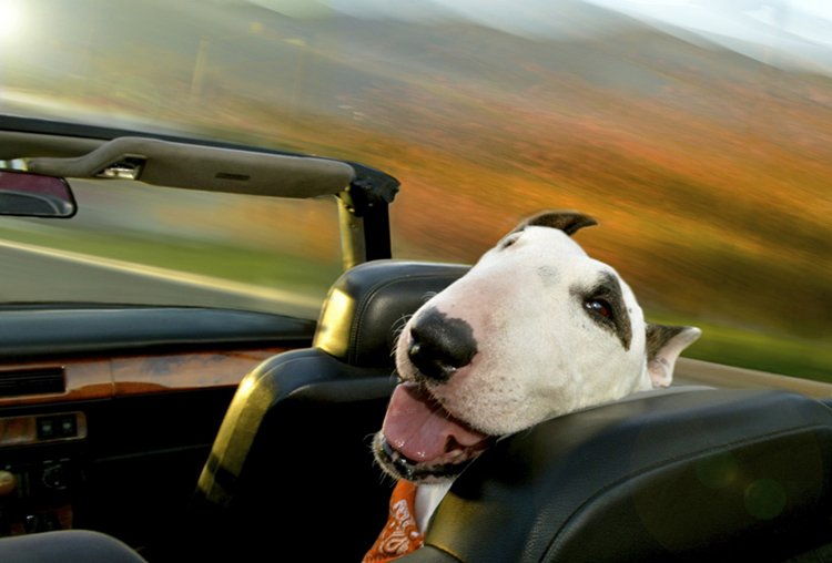 dogs-in-cars-terrier