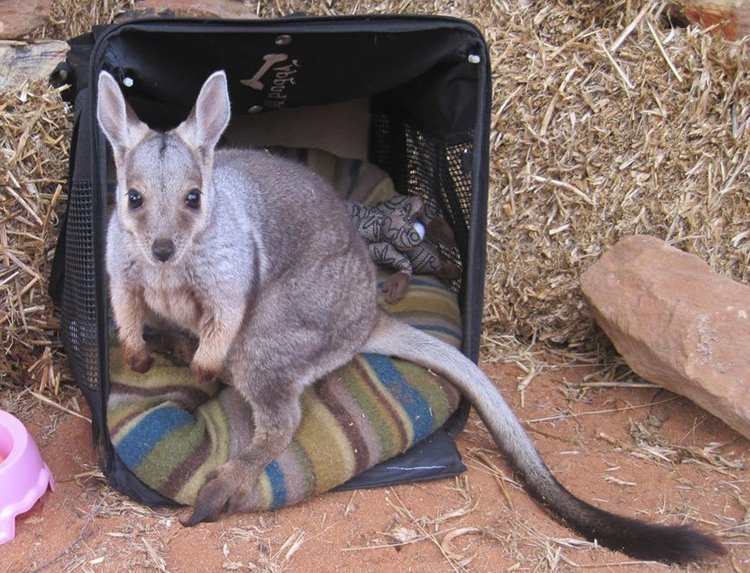 kangaroo-box