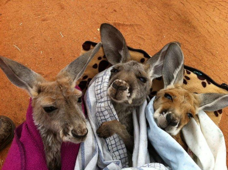 kangaroo-dundee-chris-brolga-barns