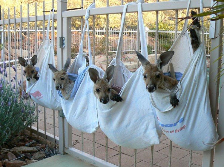 kangaroo-dundee-chris-brolga