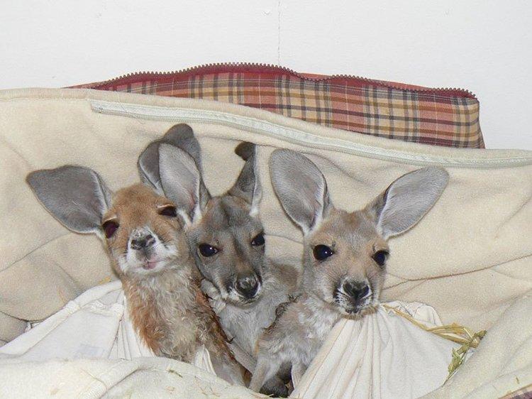 kangaroo-dundee