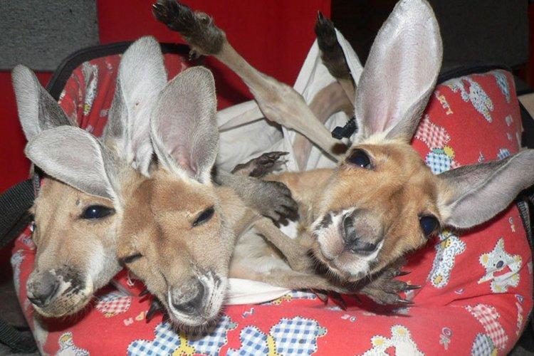 kangaroo-trio
