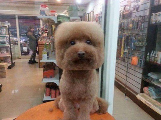 light brown dog square haircut