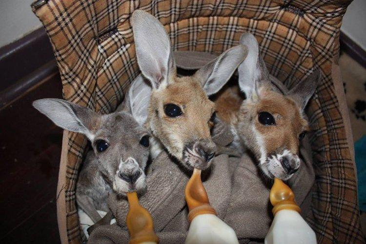 orphaned-kangaroos