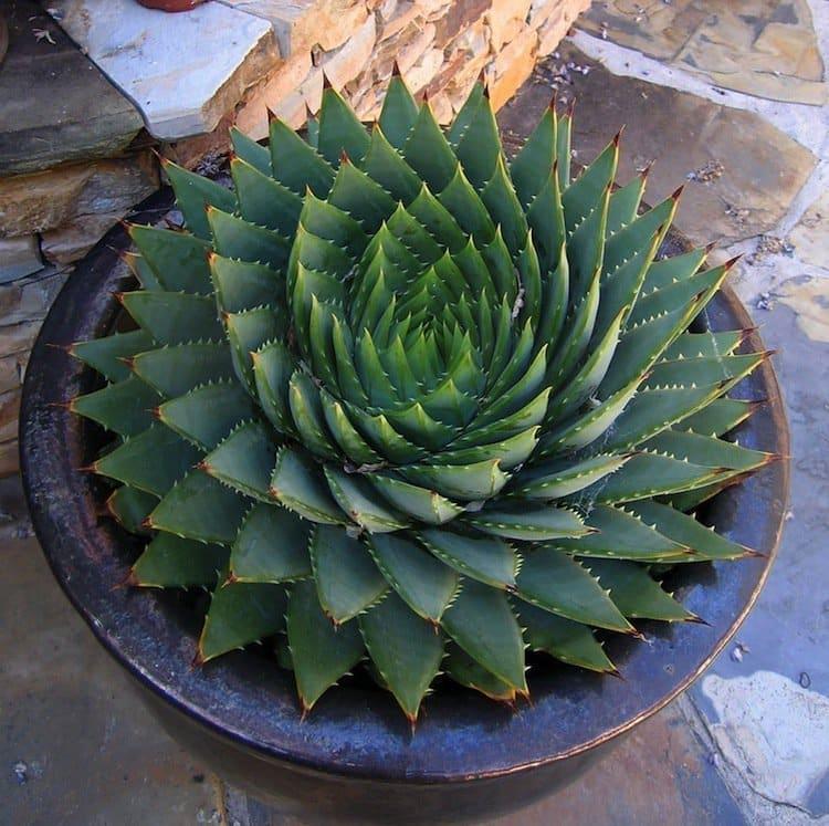 plants-succulent