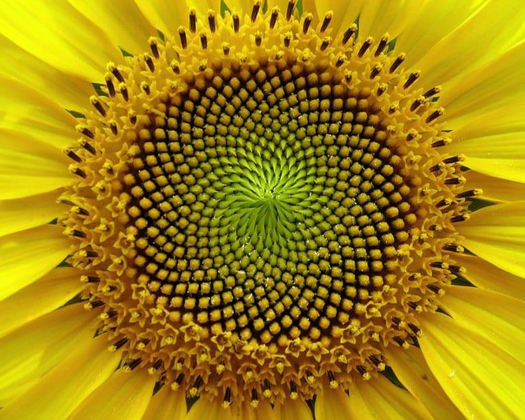 plants-sunflower