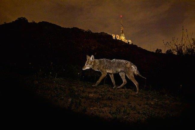 steve-winter-la-wildlife-coyote