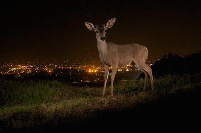 steve-winter-la-wildlife-deer