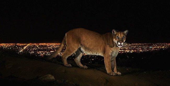 steve-winter-la-wildlife-mountain-lion