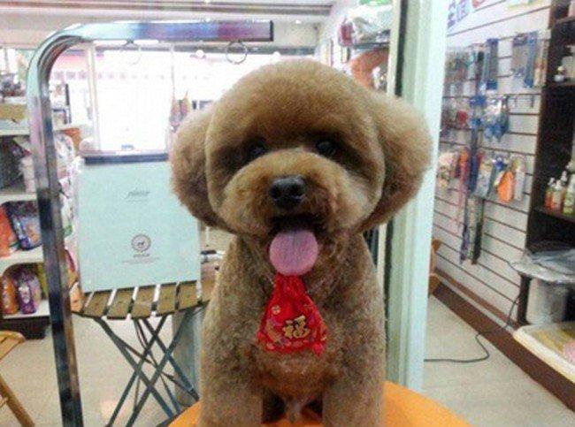 tongue dog round haircut