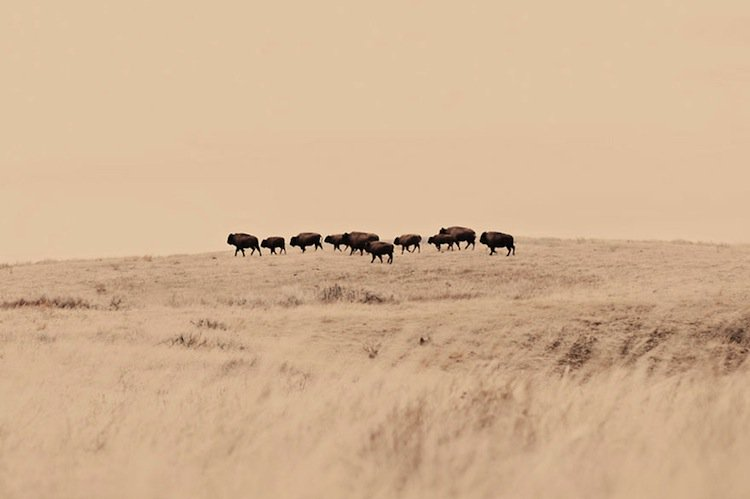 troy-bison