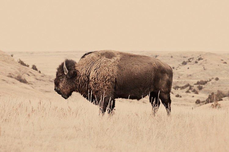 troy-buffalo