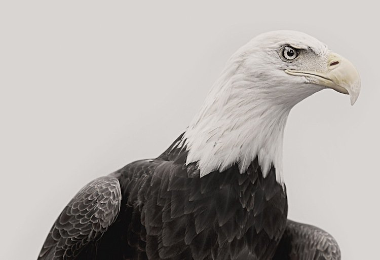 troy-eagle