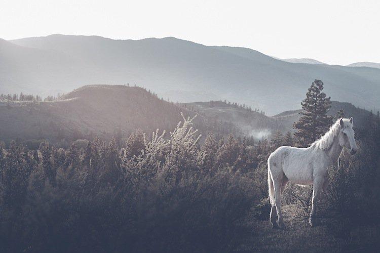 troy-white-horse