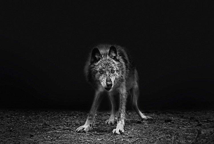 troy-wolf