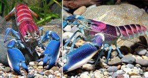 Cherax Pulcher Crayfish