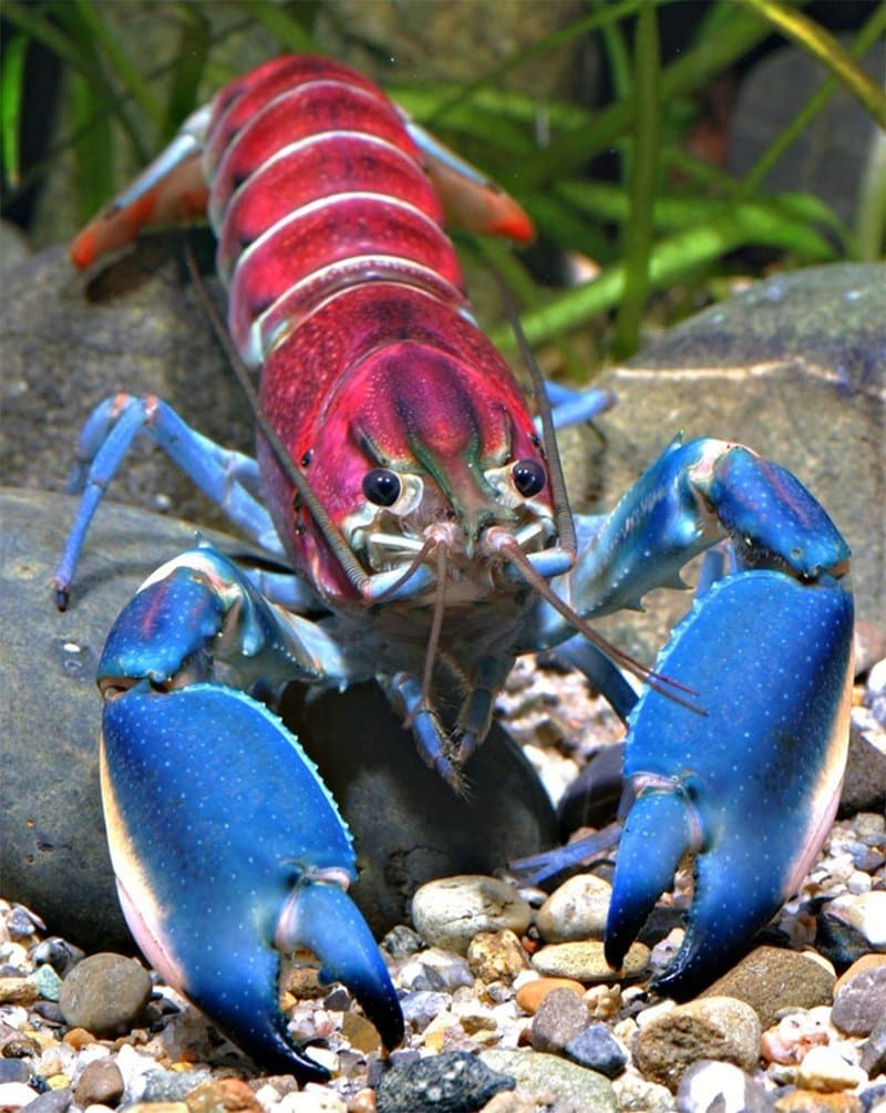 Colorful Crayfish