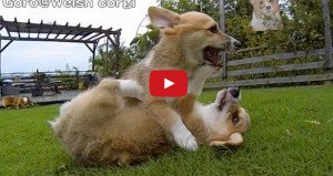Corgi Puppies Running In Slo-Mo
