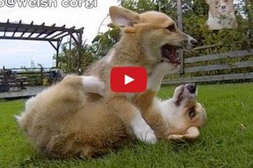 Corgi Puppies Running In Slo-Mo