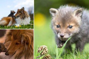 Fox Cub Adopted By Dog