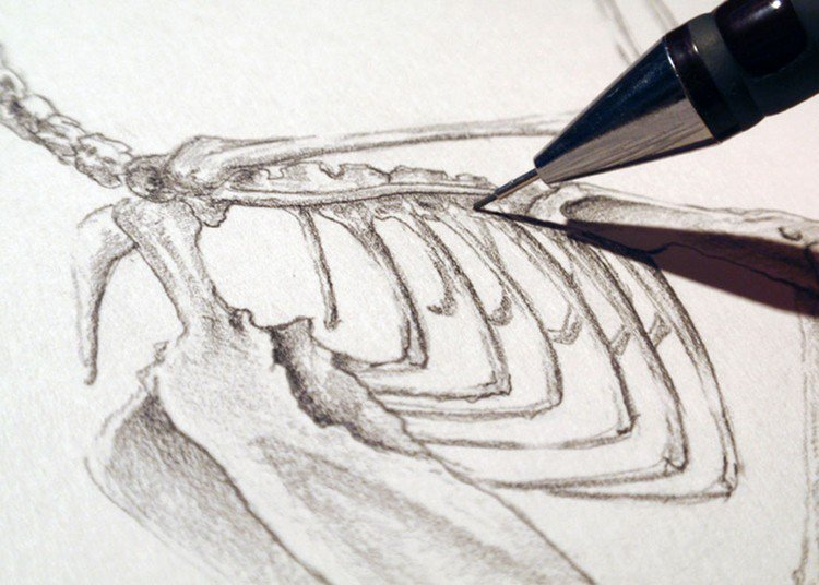 Frogmouth skeleton close up