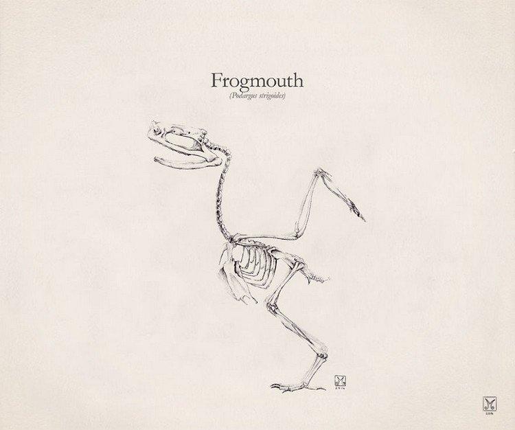 Frogmouth skeleton