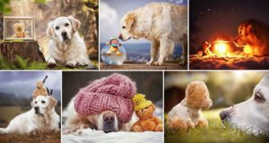 Golden Retriever Goes On Adventures With His Teddy