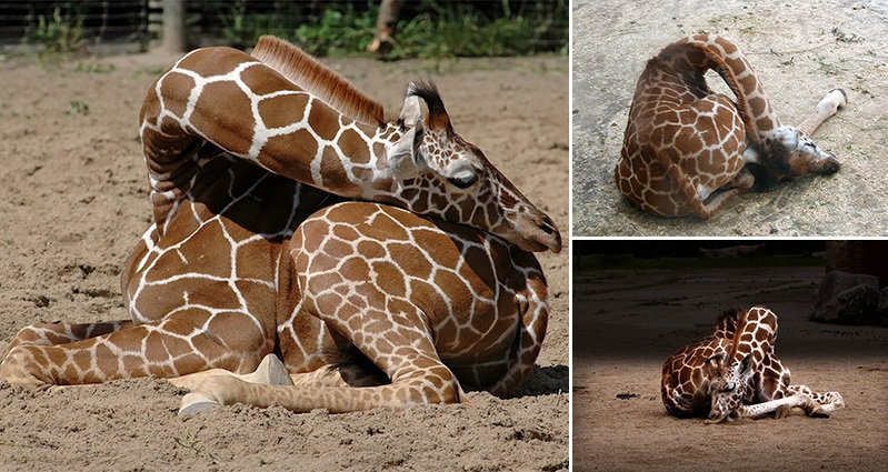 How A Giraffe Sleeps