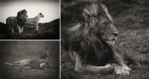 Photographer Gets Up Close With Lions