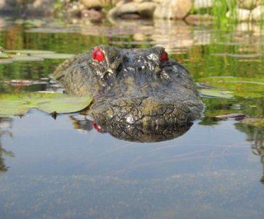 alligator head pond float